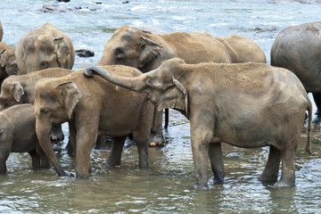 Asian Elephants taking a bath, Sri Lanka