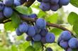 Leinwanddruck Bild - Pflaumen (Prunus domestica)