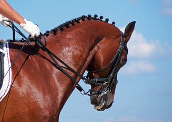 Portrait of dressage bay horse on sky background
