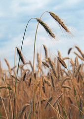 Ripening ears of wheat on the background   blue sky