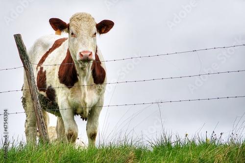 Papiers peints Vache une vache