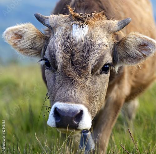 canvas print picture Carpathian cow