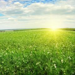 Beautiful sunrise over field pea