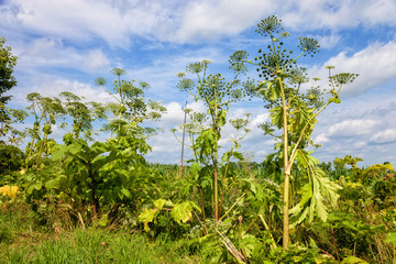Giant hogweed - a plant very dangerous for humans and animals