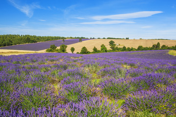 Lavender and wheat field