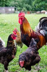 hühner mit hahn auf dem bauernhof