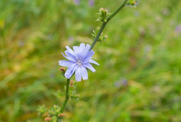 Chicory perennial herbaceous plant in time of blossoming