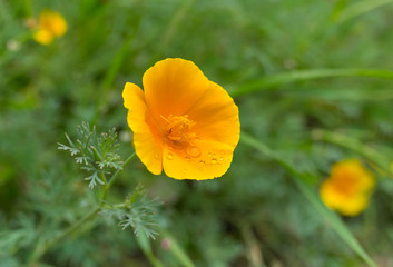 Beautiful Californian poppy after rain