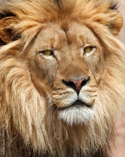 Staande foto Leeuw Lion