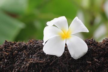 White frangipani on ground.