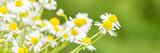 Fototapety kamilleblüten als banner