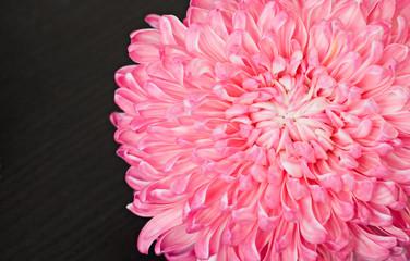 Pink aster flower, closeup