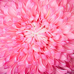 Pink aster flower, closup