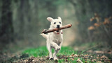 White puppy running with a stick