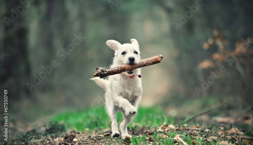 Fotobehang Hond White puppy running with a stick