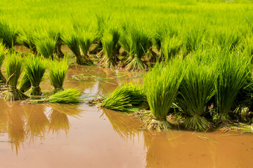 Rice paddy