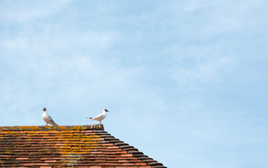 Two gulls on top of a terracotta tiled roof