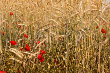 Red Poppies and Wheat Field