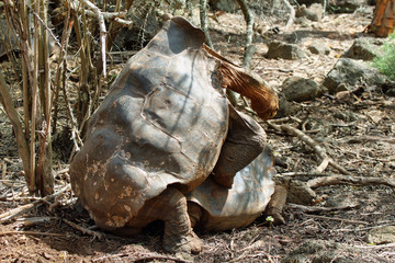 Giant male tortoise mating with  a female