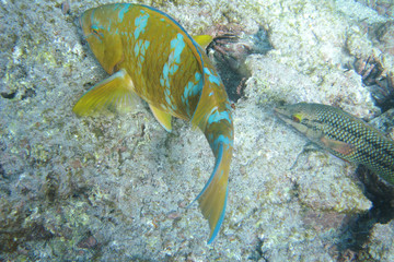 Bluechin parrotfish at Devil's Crown