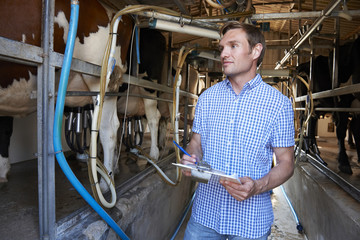 Farmer Inspecting Cattle During Milking