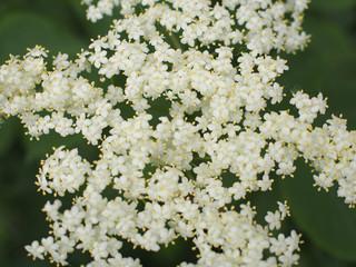 Frische Holunderblüten - Sambucus