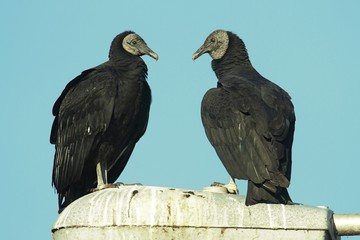 Pair of Black Vultures