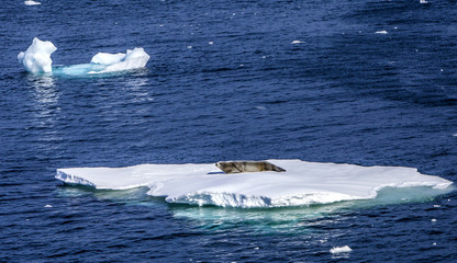 Seals resting on floating ice-2