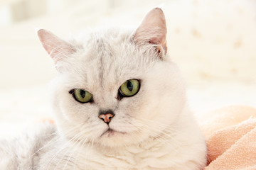 scene with view of British shorthair cat