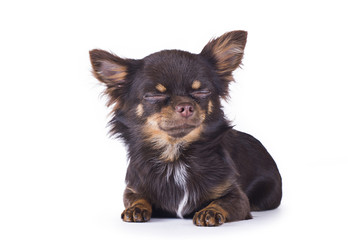 small chihuahua isolated on white background