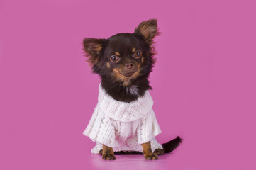 small chihuahua isolated on pink background