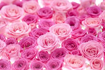 バラ ピンク 背景素材