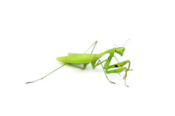 Female European Mantis or Praying Mantis, Mantis religiosa, in f