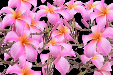 Frangipani, Plumeria, Templetree flowers