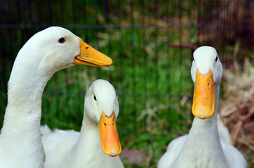 Domestic white duck