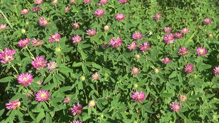 red wild clover nature background