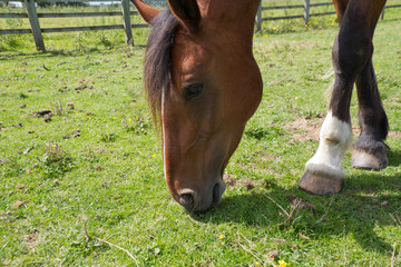 Summer grazing: close up of bay horse eating grass.
