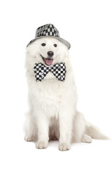 Samoyed 's dog on white background