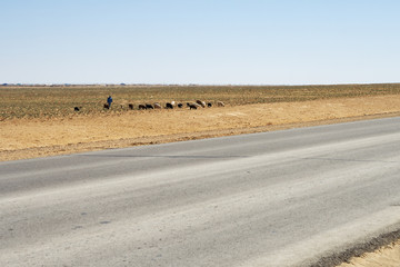 Flock of sheep in the road.