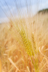 Ear of grain of wheat or rye.