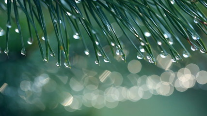 Water drops on fir tree. Shallow DOF
