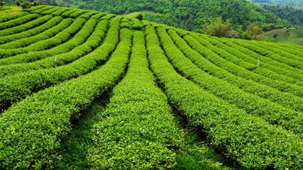 Fresh tea plantation