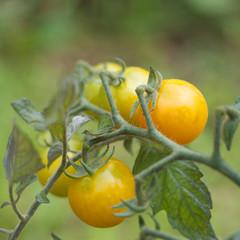 pomodori tondi gialli su pianta