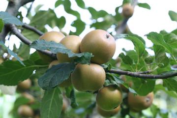 mele Ruggine sull'albero