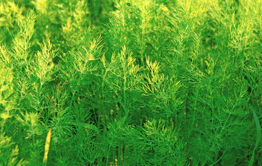 Lush green dill in the garden