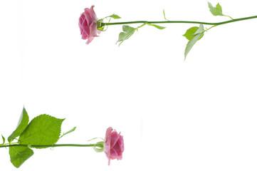 バラ ピンクのバラ ピンク色 フレーム