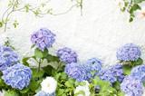 アジサイ 紫陽花 白い壁