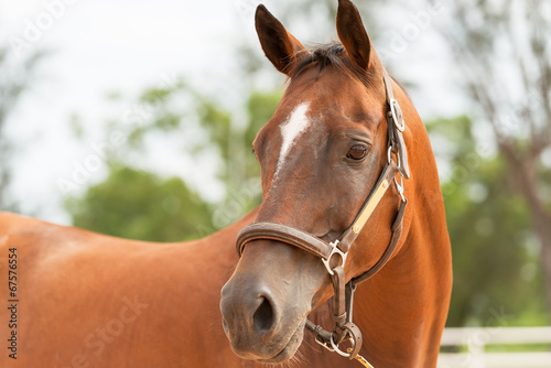 canvas print picture Horse close up