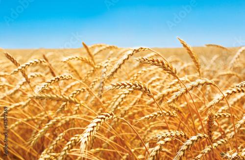 wheat field, fresh crop of wheat - 67577369