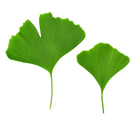 ginkgo biloba leaves on white background